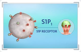 A graphic showing role of S1P receptor-1