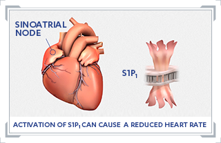 A graphic showing that S1P1 can cause a reduced heart rate